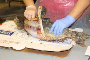 Removing the fish skin