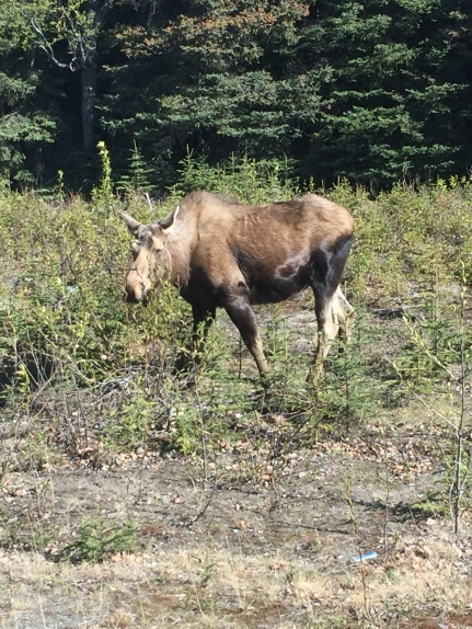 Mama Moose eating lunch
